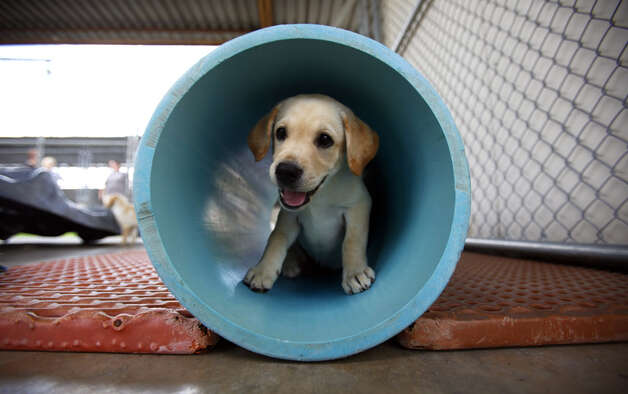 A 9-week-old Labrador puppy is seen Tuesday, July 12, 2011 at the TSA Puppy Program facilities at Lackland Air Force Base. Photo: William Luther/wluther@express-news.net