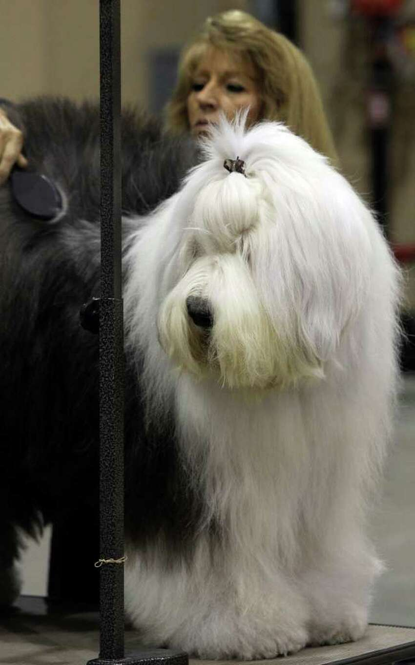 Sharon Tapscott of Houston grooms Sweet the old English Sheep Dog on Sunday, July 17, 2011, during the last day of the River City Cluster of Dog Shows. The dog is owned by Tapscott's daughter, Amy Pope.