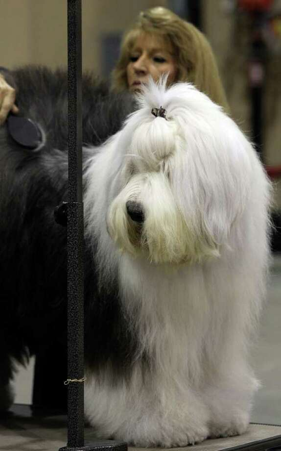 Sharon Tapscott of Houston grooms Sweet the old English Sheep Dog on Sunday, July 17, 2011, during the last day of the River City Cluster of Dog Shows. The dog is owned by Tapscott's daughter, Amy Pope. Photo: John Davenport/jdavenport@express-news.net