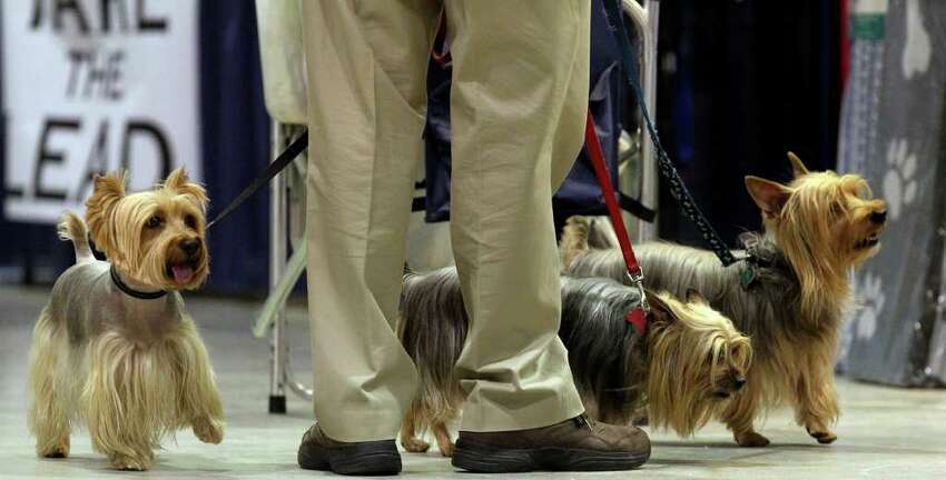 Silky Terriers owned by Walter and Linda Lee of Round Rock check out their surroundings on Sunday, July 17, 2011, during the final day of the River City Cluster of Dog Shows held at the Exposition Hall at Freeman Coliseum.