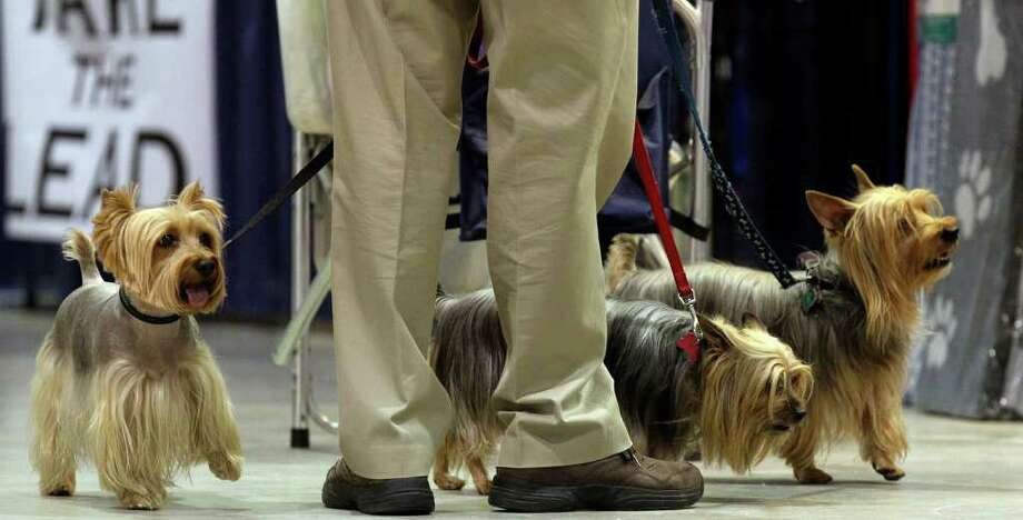Silky Terriers owned by Walter and Linda Lee of Round Rock check out their surroundings on Sunday, July 17, 2011, during the final day of the River City Cluster of Dog Shows held at the Exposition Hall at Freeman Coliseum. Photo: John Davenport/jdavenport@express-news.net / SAN ANTONIO EXPRESS-NEWS photo may be sold to the public