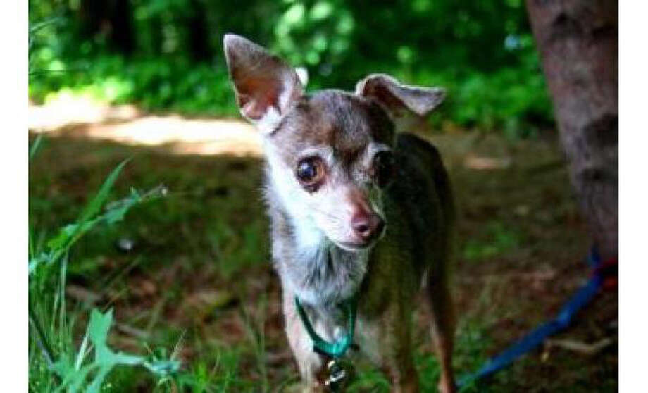 Name: Fawn Breed: Chihuahua, Short Coat/Mix, Sex: