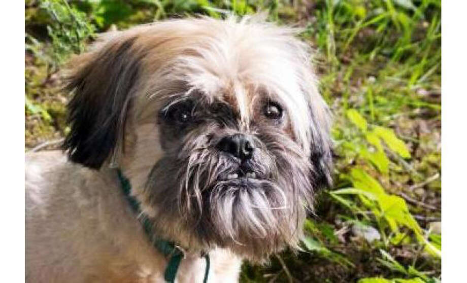 Name: Othello, Breed:  Shih Tzu/Mix, Sex: Male, Size: Small, Age: 8 years, 1 month, Adoption Status: Available, Website: http://www.seattlehumane.org/ Photo: Seattle Humane Society