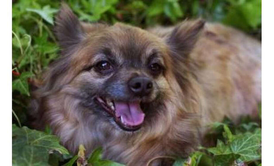 Name: Leo, Breed: Chihuahua, Long Coat/Mix, Sex: