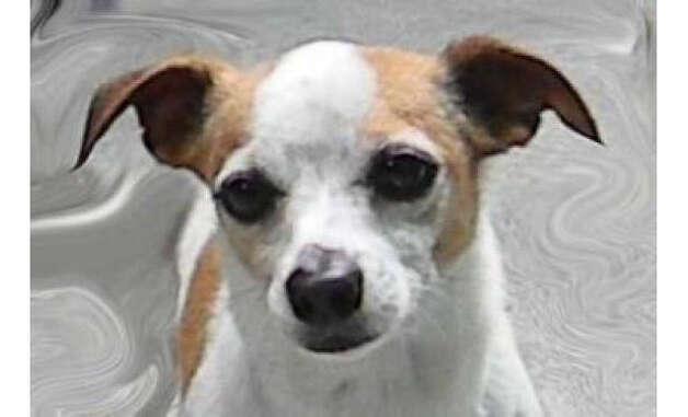 Labrador Chihuahua Mix