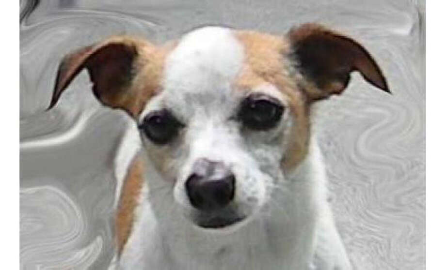 Name: Zodiac, Breed:  Chihuahua, Short Coat/Mix, Sex:  Male, Size: Small, Age: 2 years, 1 month, Adoption Status: Available, Website: http://www.seattlehumane.org/ Photo: Seattle Humane Society