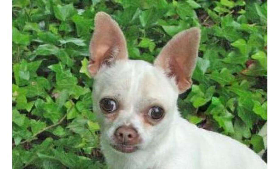 Name: Bean, Breed:  Chihuahua, Short Coat/Mix, Sex:  Male, Size: Small, Age: 2 years, 1 month, Adoption Status: Available, Website: http://www.seattlehumane.org/ Photo: Seattle Humane Society