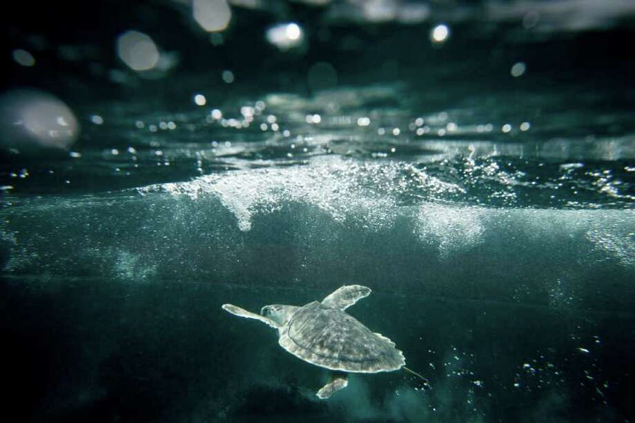 A Kemp's ridley sea turtle swims under the ocean after being released back into its natural habitat by the U.S. Coast Guard and NOAA members 20 miles off the coast of Galveston on Thursday. Michael Paulsen/Houston Chronicle Photo: Michael Paulsen, Staff / © 2011 Houston Chronicle
