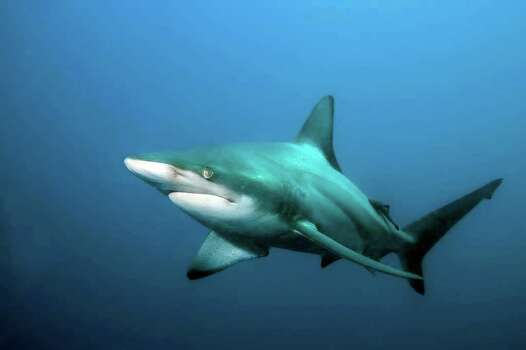 Blacktip sharks are also common on Texas beaches. Photo: Matthew D. Potenski, AP / Institute for Ocean Conservation