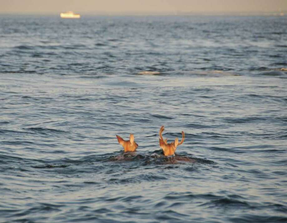 Keith Johnson of Winter Park, Fla. spotted two deer off the coast of Darien while fishing with friends Sunday, July 17. Photo: Contributed Photo