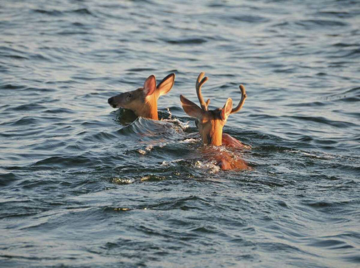The deer were struggling and swimming in circles.