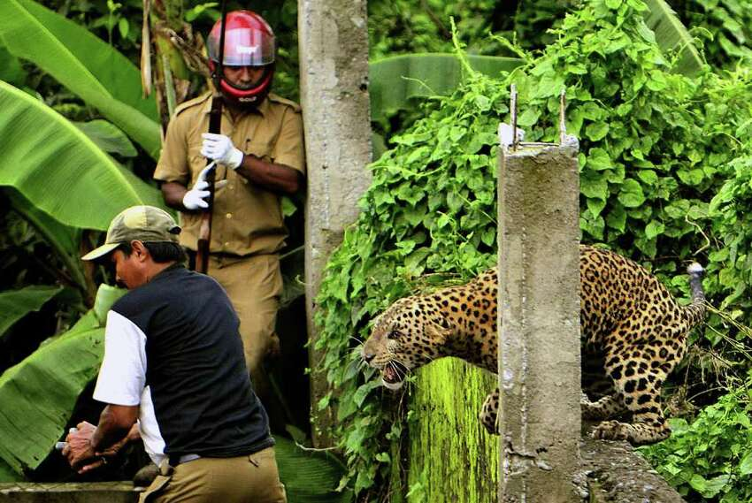 A leopard mauled six people in the Indian village of of Prakash Nagar after straying into the village on Tuesday, July 19, 2011. Forestry department officials eventually tranquilized the animal.