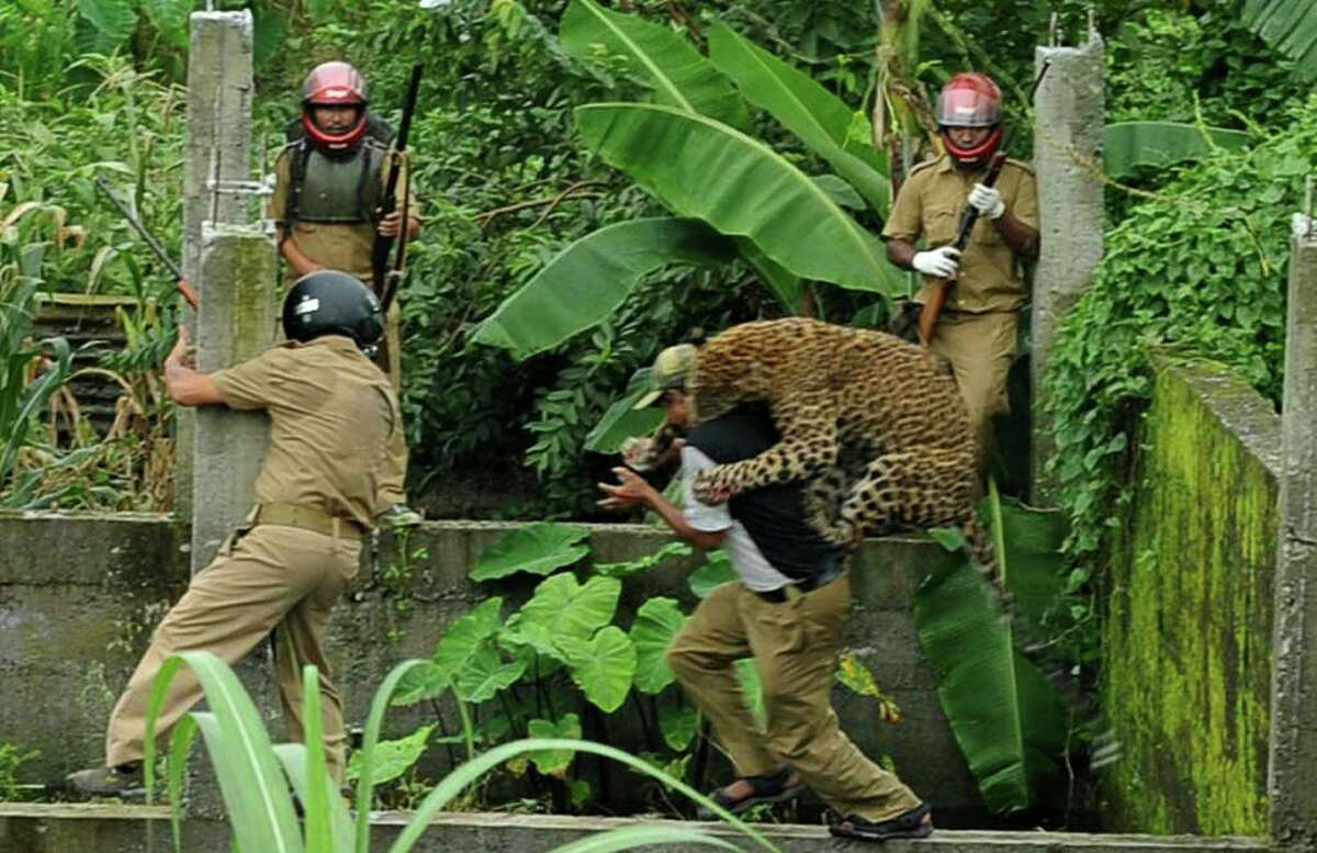 A leopard attacks a forest guard in Prakash Nagar village, India on July 19, 2011.