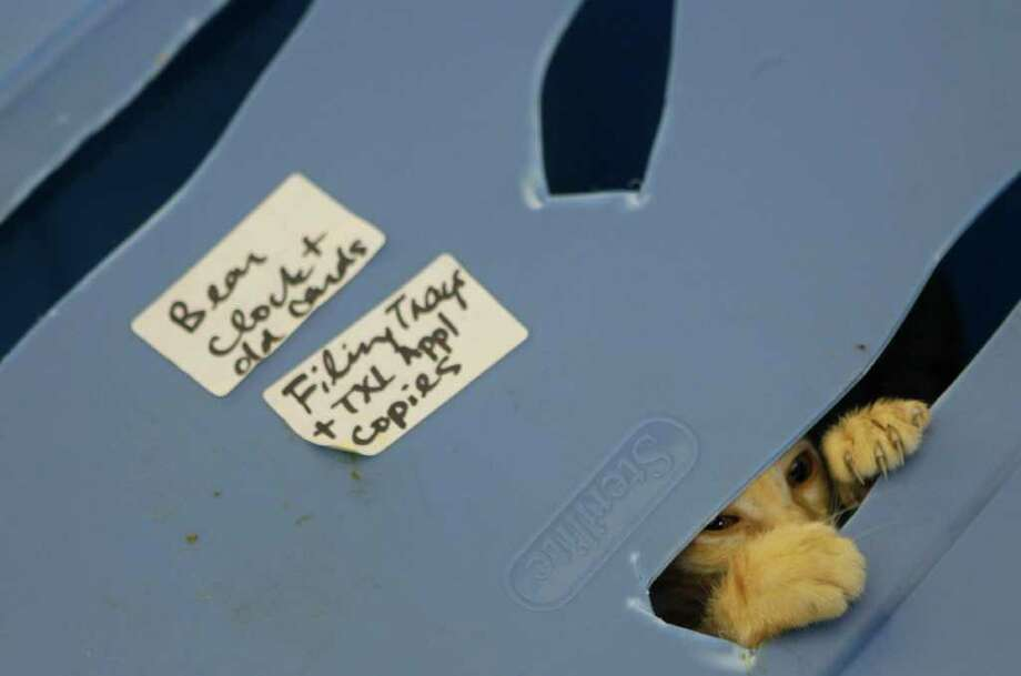 A cat pokes its head out of a box while the person dropping them off waits in line at the Bureau of Animal Regulation and Care Friday, July 8, 2011, in Houston. BARC takes in between 2-3,000 dogs and cats, while releasing 1100-1200 to homes every month. Although the shelter had a kill rate of 80 percent in 2005, it has dropped 29 percent since Mayor Annise Parker's Task Force analysis of shelters in the Houston-area was published the same year. The agency has not only cut its euthanasia rate, it boosted its adoptions even more.  ( Cody Duty / Houston Chronicle ) Photo: Cody Duty, Staff / © 2011 Houston Chronicle