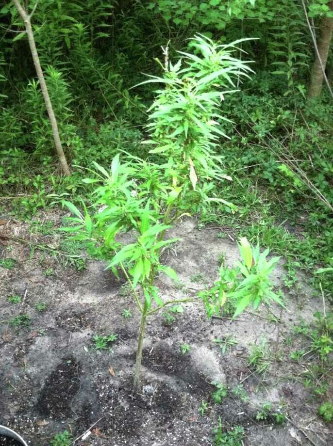 Police in West Orange and Pinehurst discovered a patch of marijuana plants in Pinehurst on Tuesday. Photo: Pinehurst Police Department