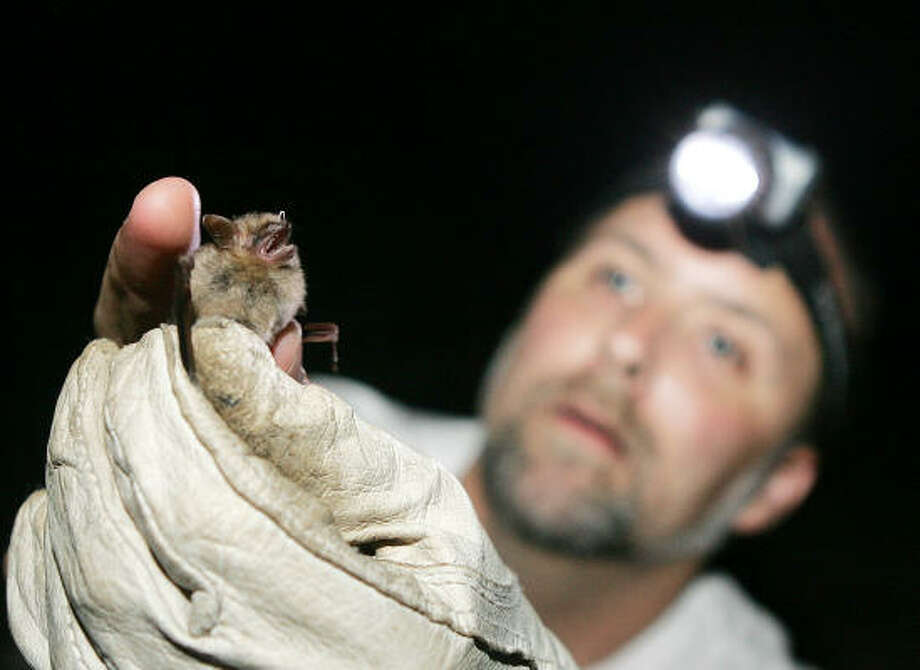 Wildlife biologist Mark Yates holds a Eastern Pipistrelle bat he and his team caught near the Chattooga River in Clayton, Ga., on Aug. 8. Like the handful of other teams fanned out across the area, the squad was part of the latest three-night Bat Blitz. Photo: JOHN BAZEMORE, AP