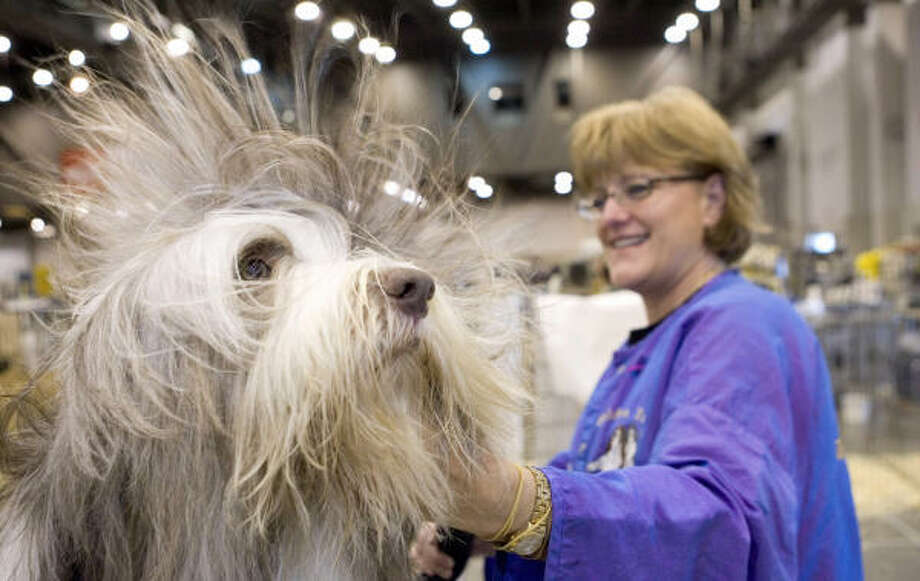 Ceile, a 3-year-old bearded collie, gets the star treatment from Trudy Golden, of Jacksonville, Ark. Golden said it is a three-hour job to bathe and blow-dry Ceile, whom she is showing at the Reliant Park World Series of Dog Shows. Photo: BRETT COOMER, Chronicle