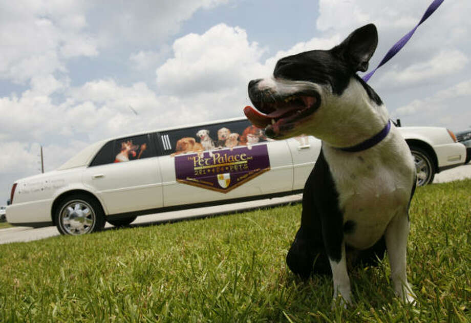 Paris, a Boston terrier owned by Elizabeth and Laura McIngvale, is picked up in a limo by the Pet Palace. Photo: MELISSA PHILLIP, CHRONICLE
