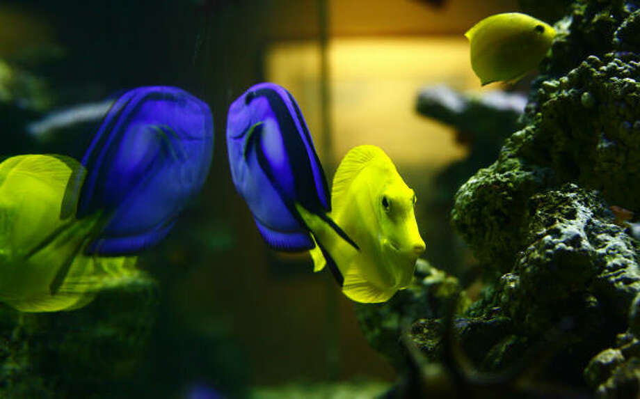 A yellow tang and a palette surgeonfish are among the species on display at Sea Center Texas in Lake Jackson. Photo: Steve Ueckert, Chronicle