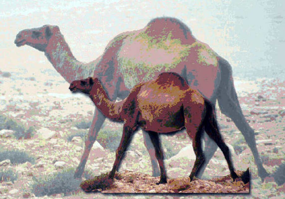 """This handout imagines what the so-called """"Syrian camel,"""" back, would have looked like in comparison to modern-day camels. Photo: SYRIAN DEPARTMENT OF ANTIQUITIES AND MUSEUMS"""