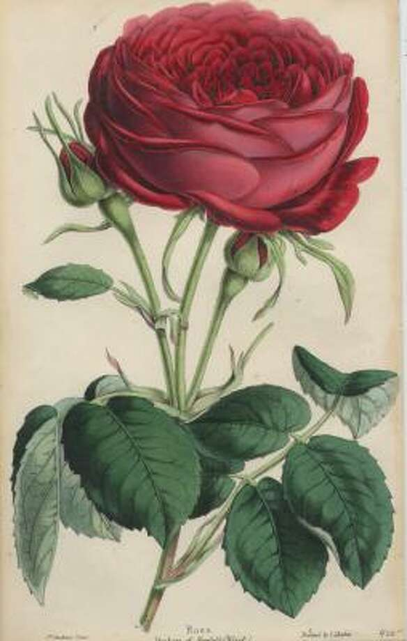 Flowers were a favorite subject of 19th-century artists. This hand-colored lithograph by J. Andrews, circa 1865, is available at the Antiquarium, an antique-print gallery. Photo: The Antiquarium