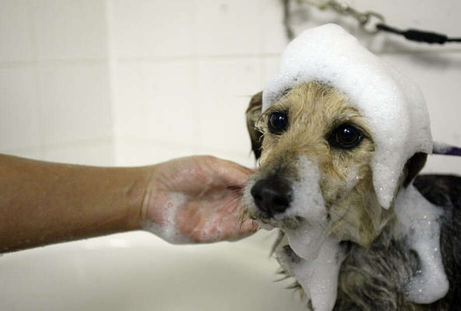 At Rover Oaks Pet Resort, where he is staying until he is ready to be adopted, Three Legs gets his first bath since being pulled off the streets. Photo: Jessica Kourkounis, For The Chronicle