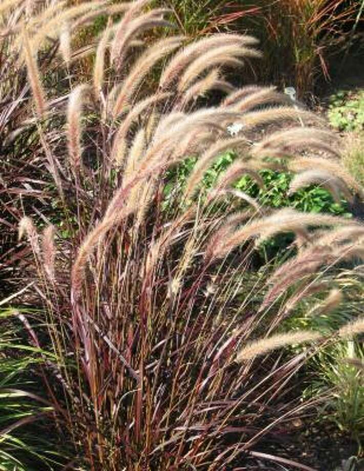 Whether you go native, ornamental grasses are a plus for a landscape. Photo: BRENDA BEUST SMITH, Houston Chronicle