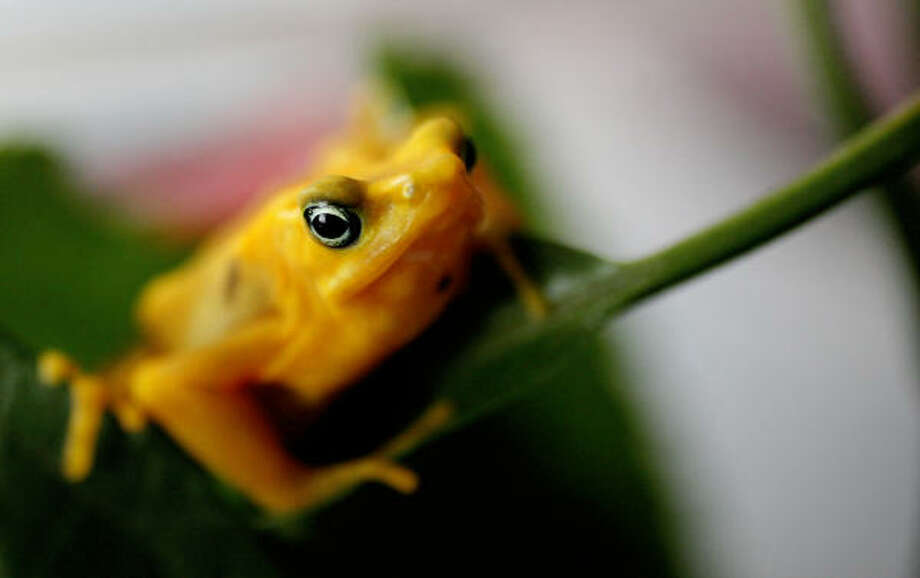 The golden frog, Atelopus zeteki, lives in the rain forests of west-central Panama. Photo: KAREN WARREN, Chronicle