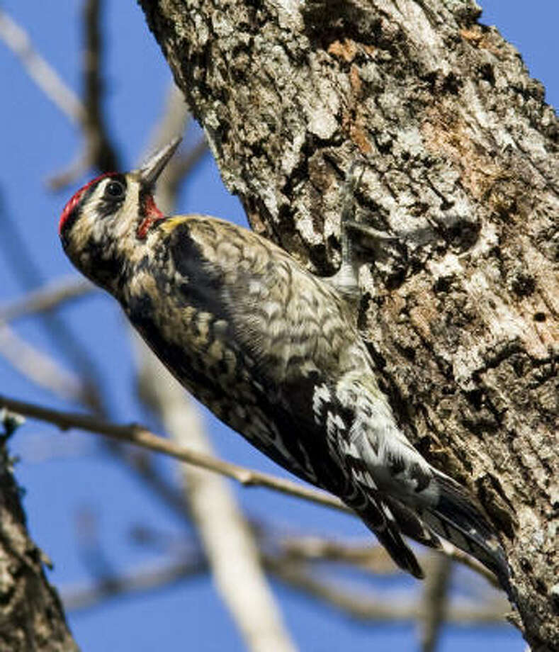 Yellow-bellied sapsuckers, woodpeckers that pecks rows of tiny holes in trees, are wintering in area woods and neighborhoods. Photo: Kathy Adams Clark