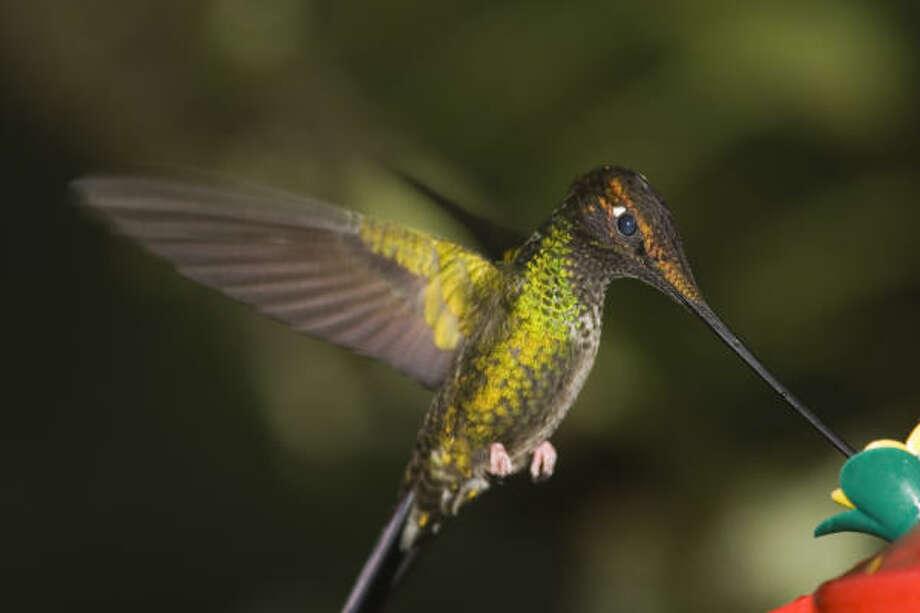 The sword-billed hummingbird of Ecuador has a 4-inch beak. Photo: Kathy Adams Clark