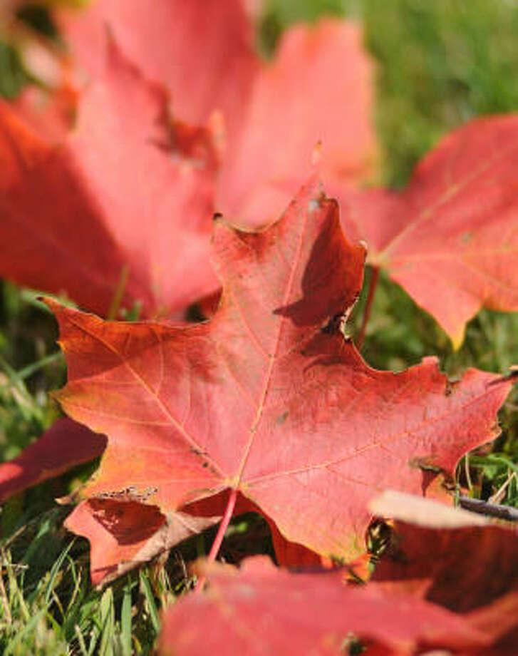 Red maple leaves Photo: Melanie Sochan, AP
