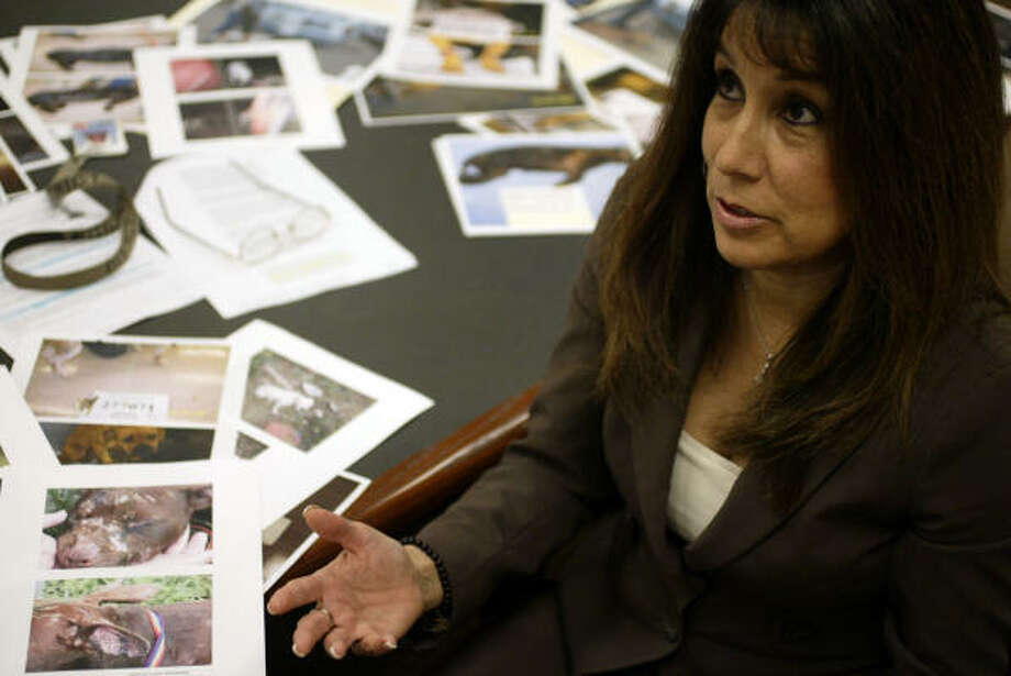 Assistant district attorney Belinda Smith, responsible for prosecuting animal cruelty cases, is surrounded by photographs of injured dogs, dead animals, tread mills, sticks used to pry fighting dogs apart, portable dog fighting rings, etc. Photo: Jessica Kourkounis, For The Chronicle