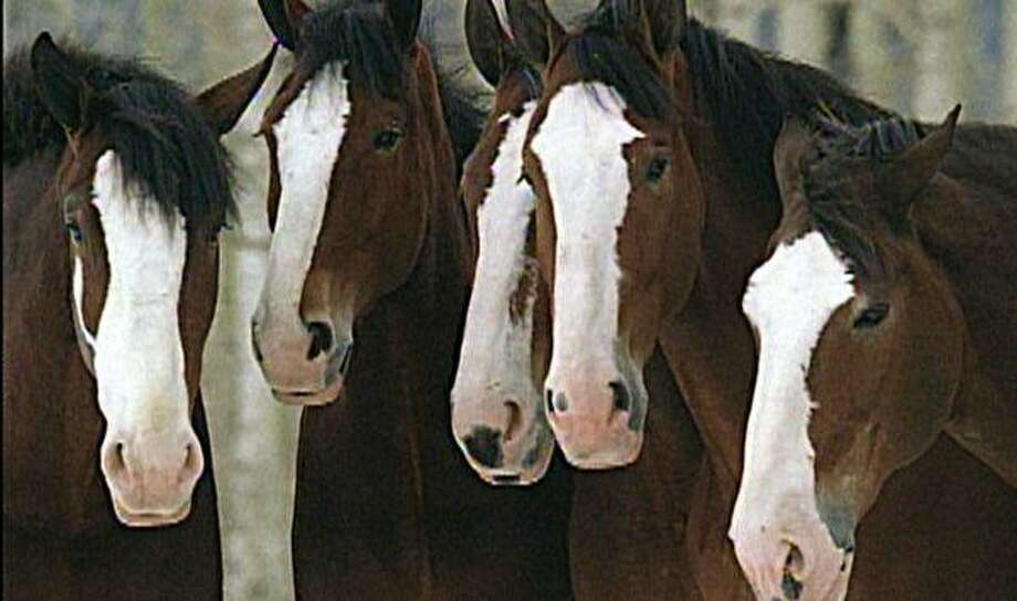 Budweiser Clydesdales take a break from their football game to watch an instant replay in an ad broadcast in a prime post-kickoff spot. InBev chief Carlos Brito said his company has no plans to trim advertising in the United States. Photo: Anheuser-Busch