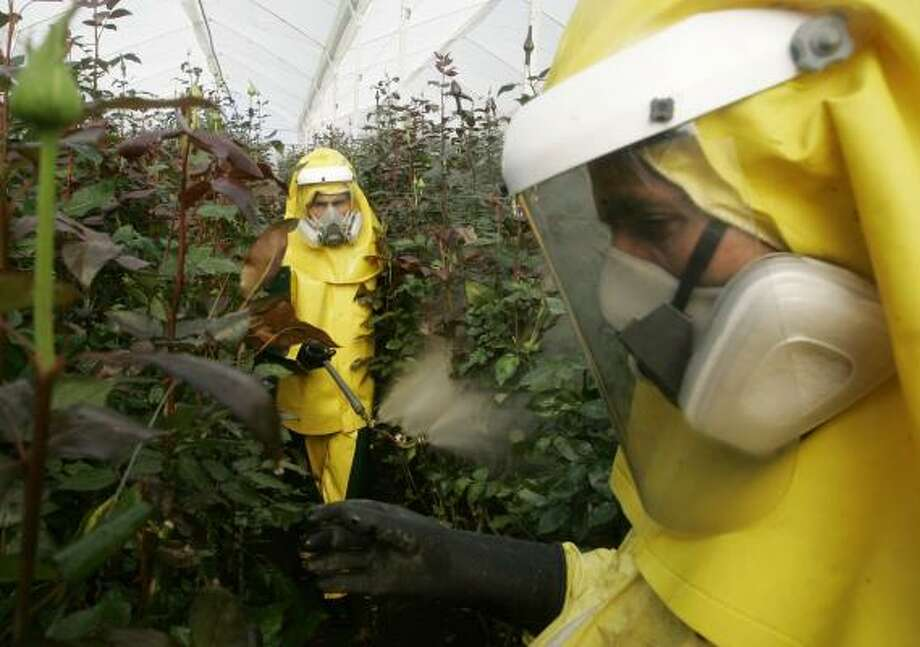 Workers spray foliate fertilizer, an environmentally safe product, at a flower farm in Bogotá. Colombian growers are reducing their reliance on toxic chemicals to protect their products from pests. Photo: FERNANDO VERGARA, ASSOCIATED PRESS
