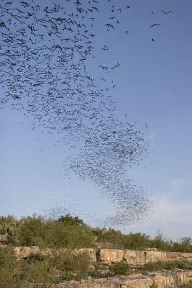 Bats consume a lot of flying insects and luckily Texas has a lot of bats.  These Mexican free-tailed bats are leaving the Frio Bat Cave, near Concan, for a night of insect eating. Photo: Kathy Adams Clark