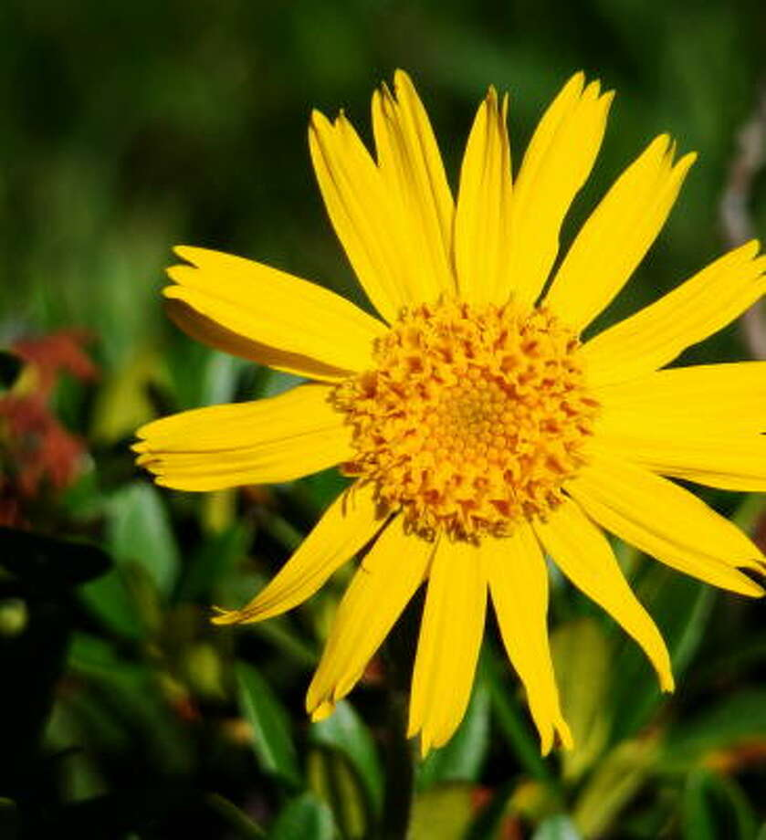 Arnica flower heads yield a substance that, in an ointment popular in Europe, can relieve muscle aches and discomfort from sprains, bruises, insect bites, even open wounds. Photo: FOTOLIA
