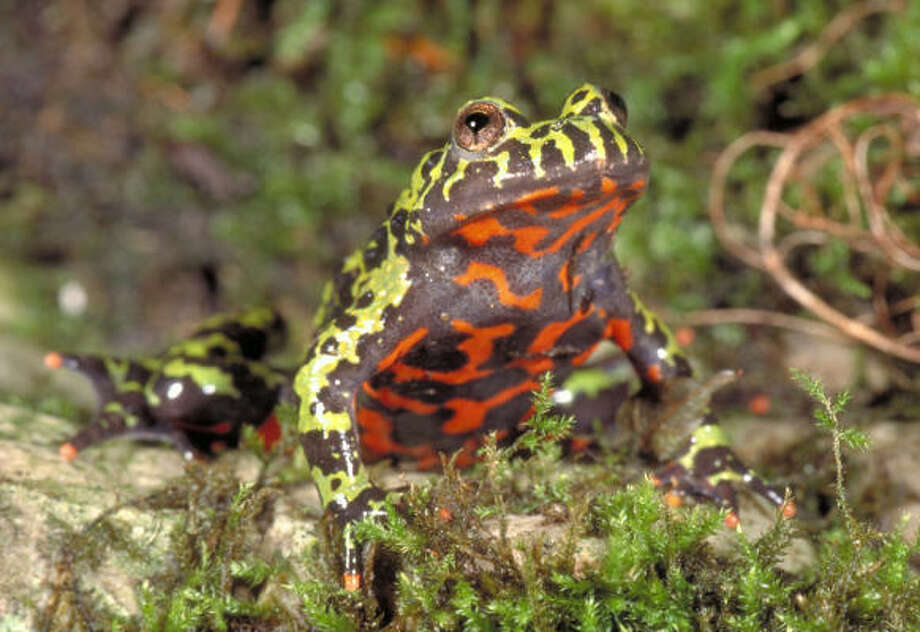 The fire bellied toad's brilliant colors are a warning that they are toxic. When surprised by a predator, these toads will bow their back to fully reveal their bright bellies, occasionally turning completely upside-down. Photo: Houston Museum Of Natural Science