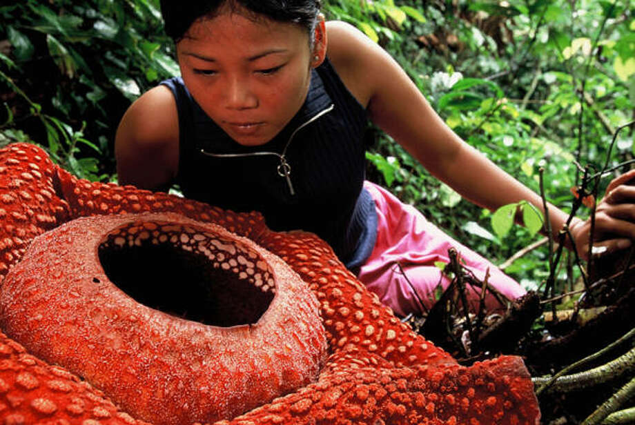 A.Yen examines a Rafflesia flower, which can measure about 40 inches in diameter, in Sumatra, Indonesia. Photo: Jeremy Holden, For The Chronicle