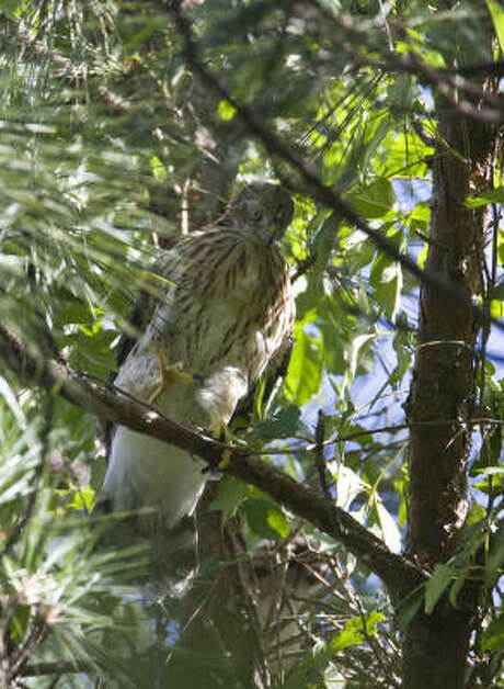 An immature Cooper's hawk -- not the one on Westheimer -- perches near its nest at the Houston Arboretum. Photo: Kathy Adams Clark