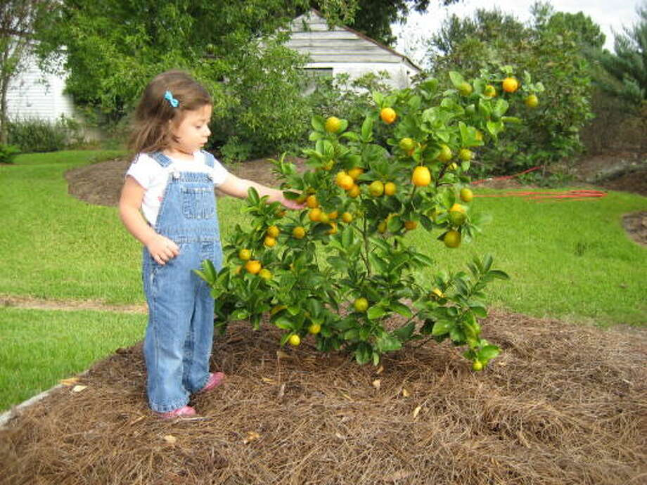plan now for your backyard orchard in 2010 houston chronicle