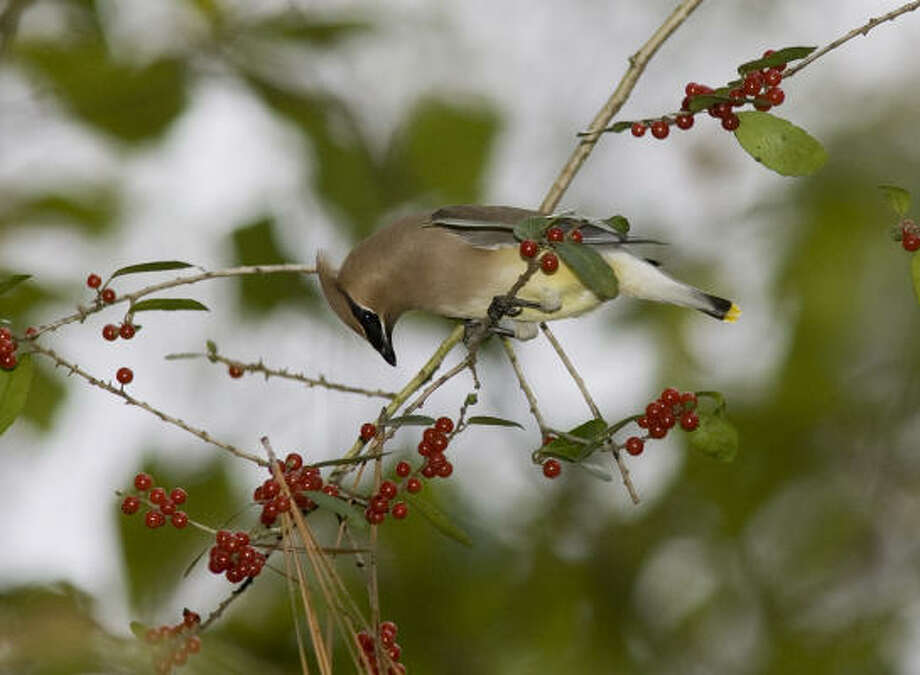 Cedar waxwings will be in the Houston area until May, and right now they're feasting on winter berries. Photo: Kathy Adams Clark