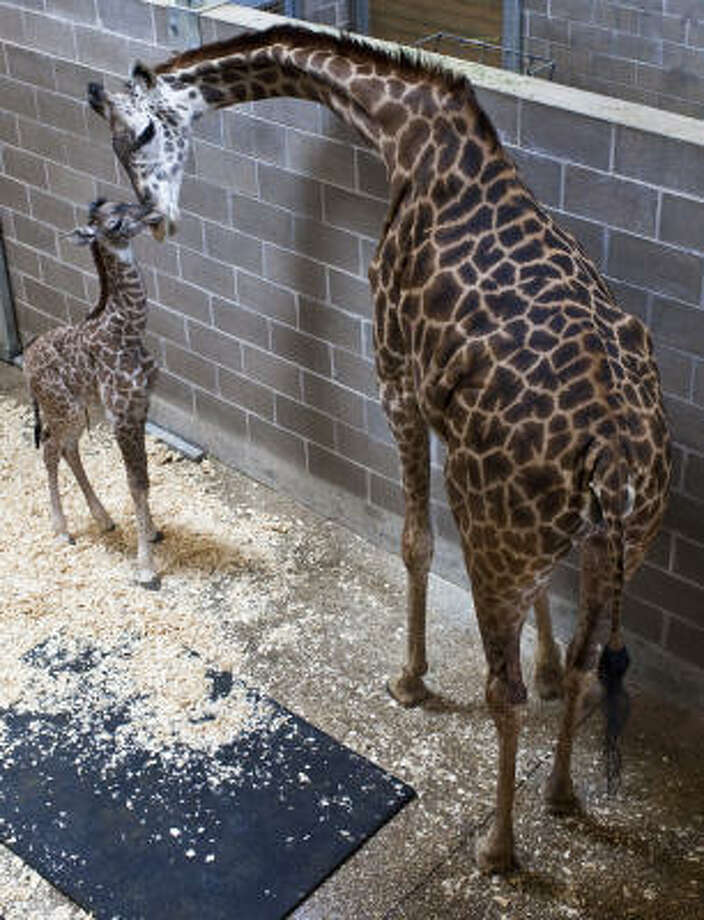 A female Masai giraffe, left, was delivered by mom Tyra shortly after 5 p.m. Friday at the McGovern Giraffe Exhibit at The African Forest following a 14 month pregnancy. Photo: Eric Kayne, For The Chronicle