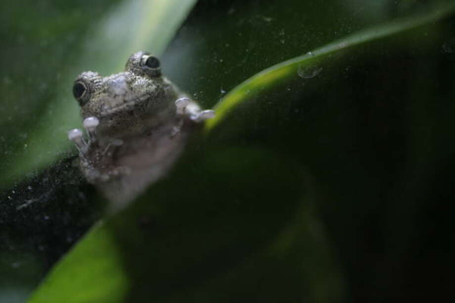 The gray tree frog is native to Houston. Frogs and amphibians are pivotal on the food chain — and vulnerable to environmental ills. Photo: Julio Cortez, Chronicle