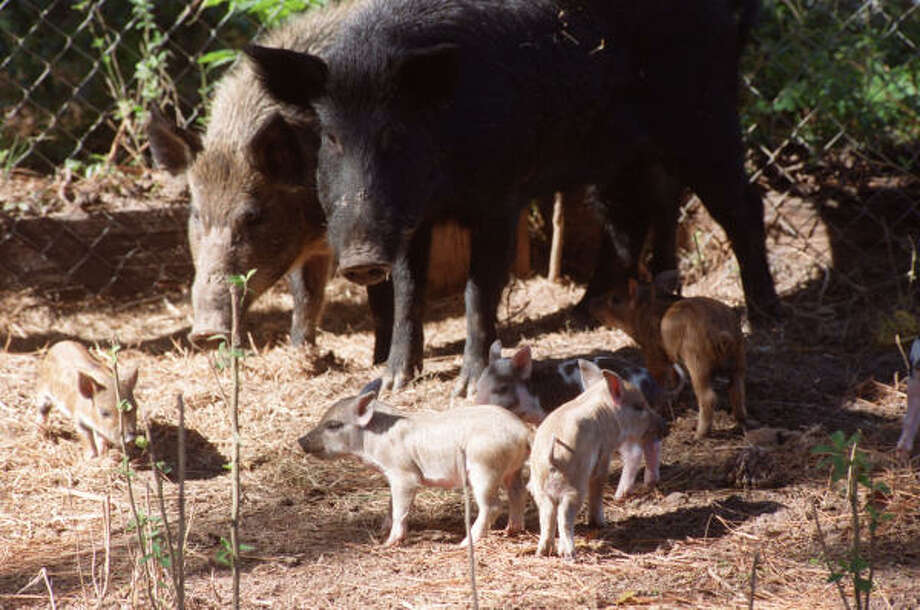 Each sow can have three litters a year, and young females can have their first piglets before their first birthday, Precinct 3 special activities coordinator Mike McMahan said. Photo: E. Joseph Deering, Houston Chronicle