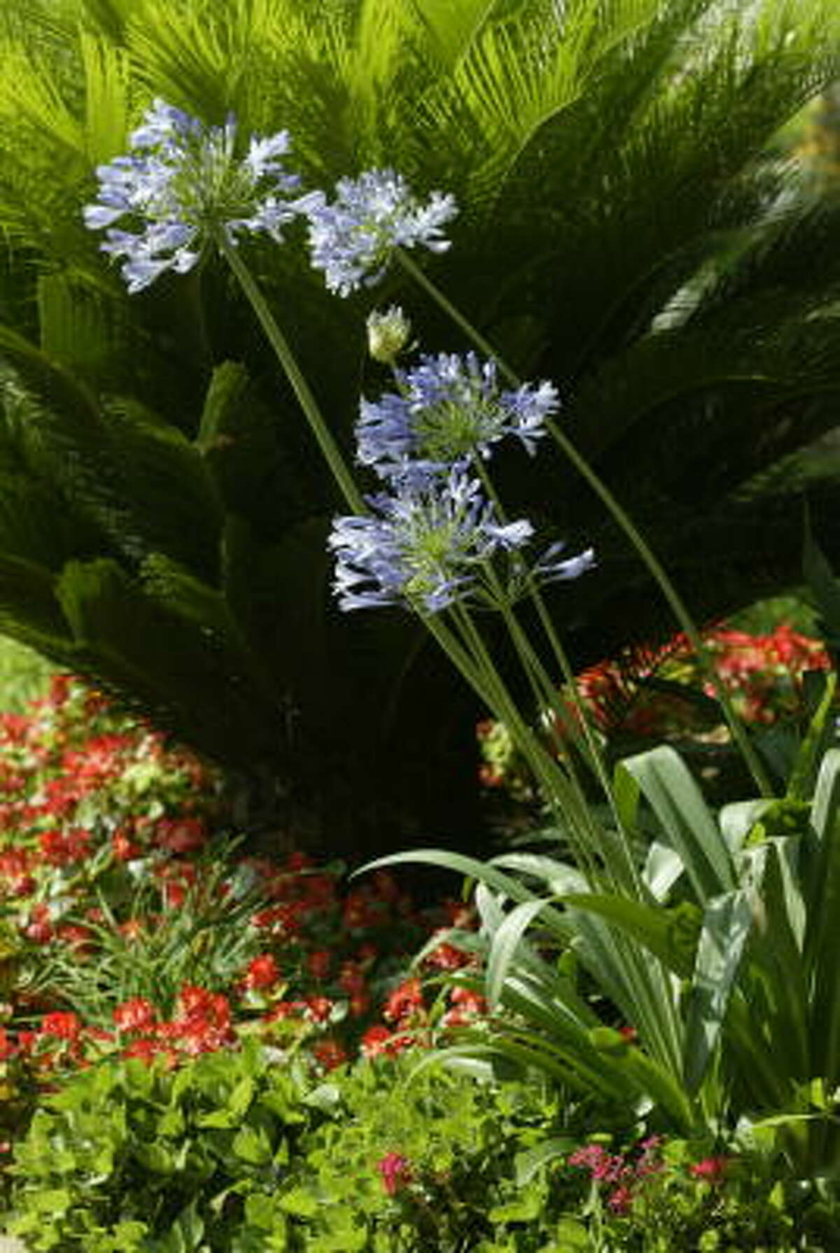 Blue agapanthus and red begonias ensure curb appeal.