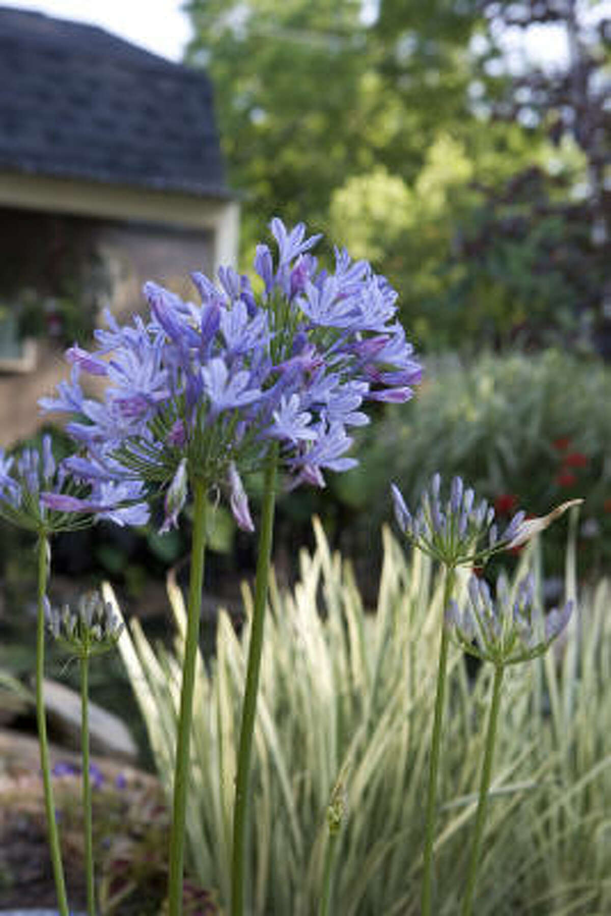 Close-up of agapanthus (lily of the nile) in a backyard water garden