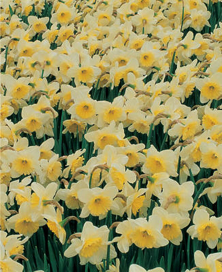 Narcissus 'Ice Follies' Photo: Netherlands Flower Bulb Info