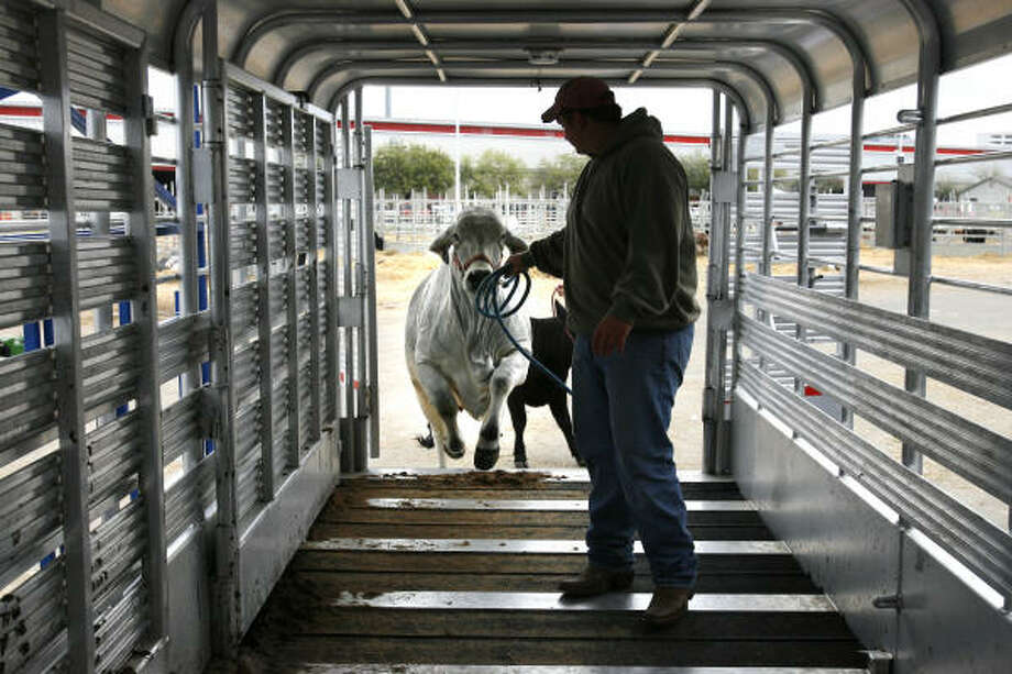 Aaron Permenter, 16, of Beaumont, gets his Brahman cow loaded into a trailer on the last day of the rodeo Sunday. Photo: Sharon Steinmann, CHRONICLE