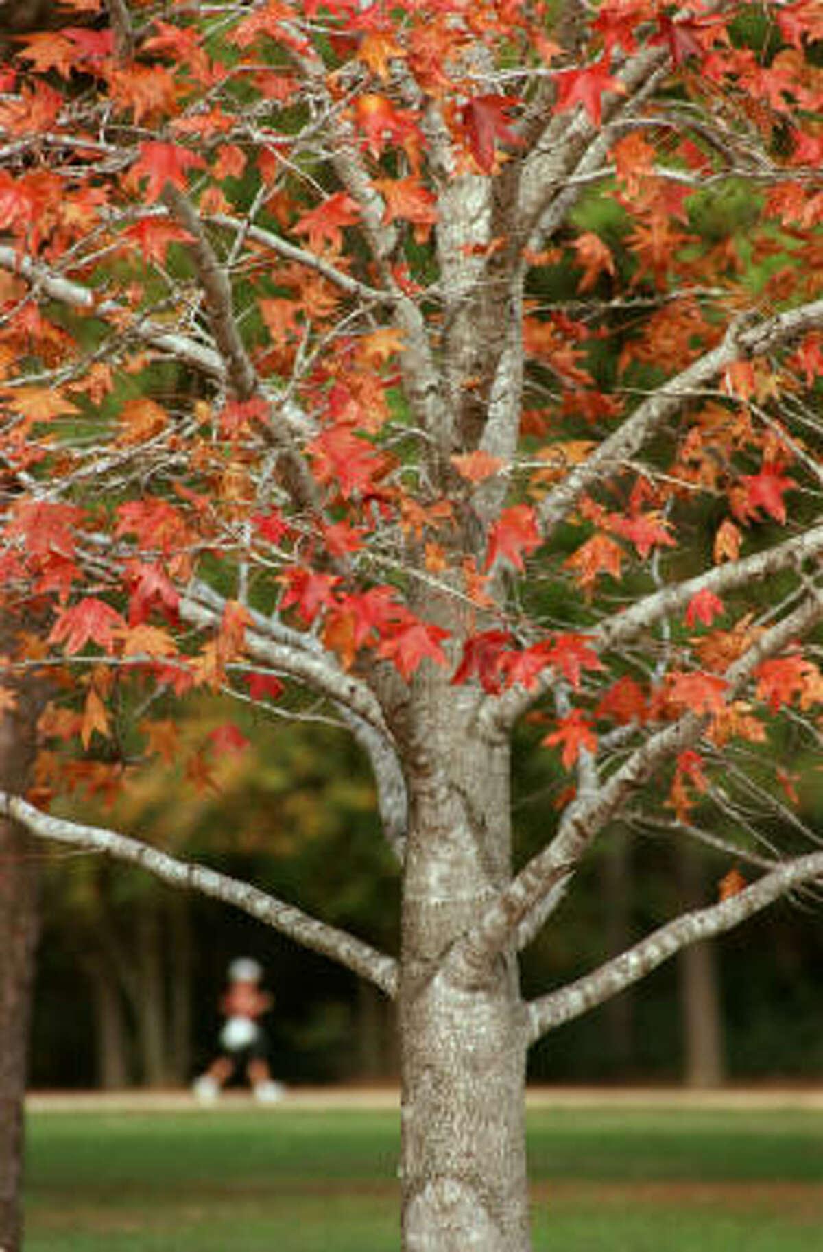 Sweet gum's bright reds and oranges in Memorial Park.