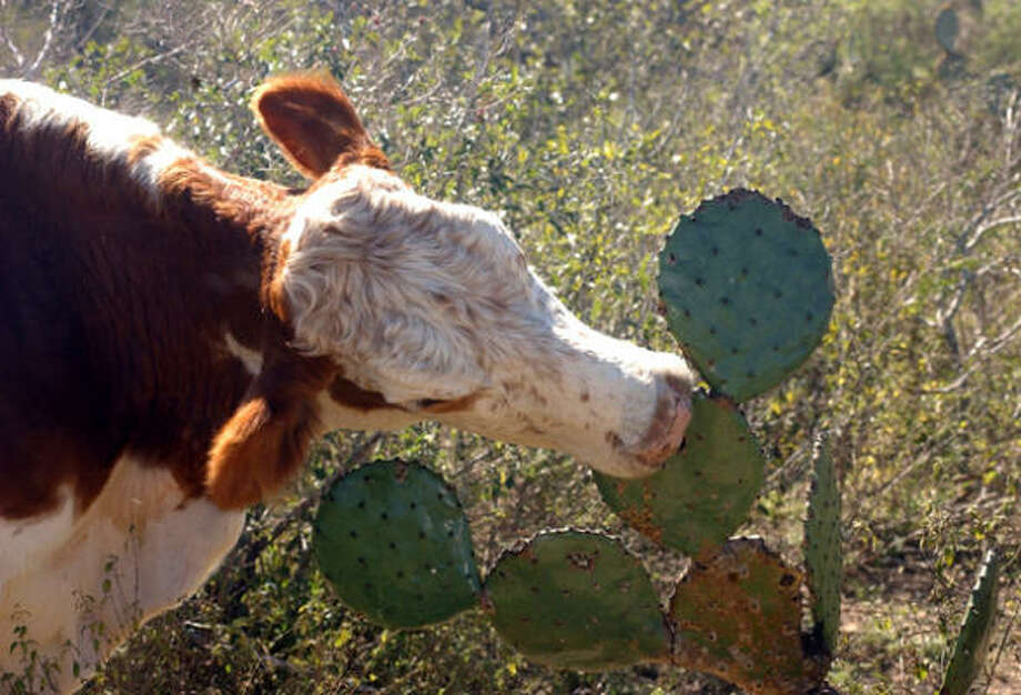 A cow bites into a prickly pear pad after the stickers have been burned off on a ranch north of Rio Grande City. Photo: GERMAN GARCIA, AP